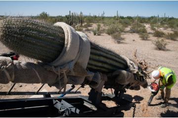 Destruyen a los Gigantes del Desierto por construir el muro de Trump