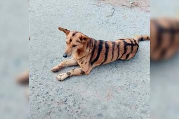 Hombre pinta a su perro como tigre para evitar robos