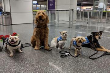 Perros se ofrecen para ser acariciados en aeropuerto de California