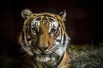 Un tigre fue contagiado de coronavirus en Nueva York