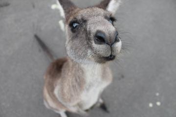 Los saltos de un canguro se registraron en las calles libres de...