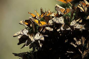 100 hectáreas de Biosfera de la Mariposa Monarca fueron consumidas...