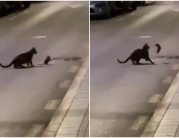 Viral: Rata pelea contra el gato que quería capturarla