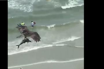 Águila atrapa a tiburón con sus garras y se lo lleva volando