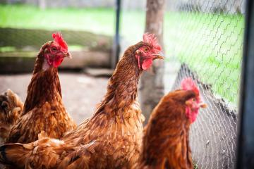 Autoridades de China buscan prohibir sacrificio y venta de aves...