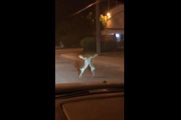 Dos liebres pelean en carretera mexicana