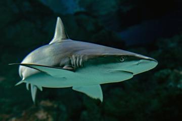 Alertan sobre presencia de tiburones blancos en playas de San Diego