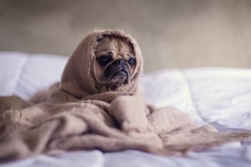 Las enfermedades más comunes en  perros