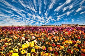 Flower Fields in Carlsbad, San Diego to Open March 1