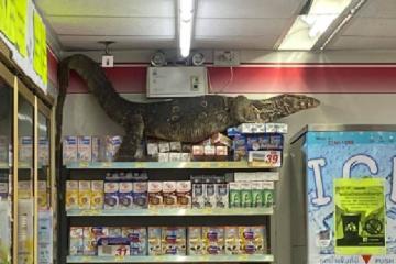 Viral: Dragón de Komodo asalta 7-Eleven en Tailandia