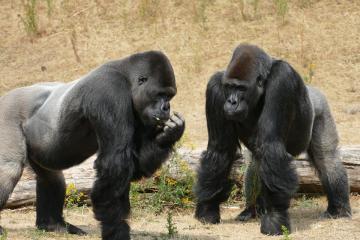 Simios del Zoológico de San Diego reciben vacuna contra COVID-19...