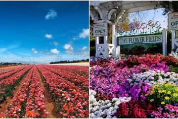 Espectaculares campos de flores en Carlsbad San Diego continuarán...