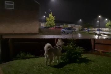 VIRAL: Husky reacciona por primera vez al sonido de un trueno