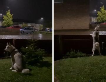 VIDEO: Husky protagoniza curiosa reacción al escuchar un trueno...