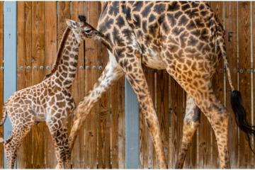 Nace una especial jirafa con una marca de mariposa en Disneys...