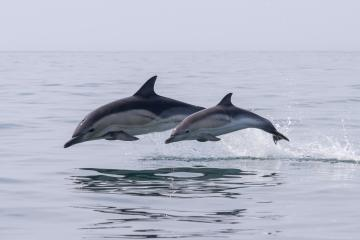 VIDEO: Delfines quedan atrapados en canal agrícola de Sinaloa