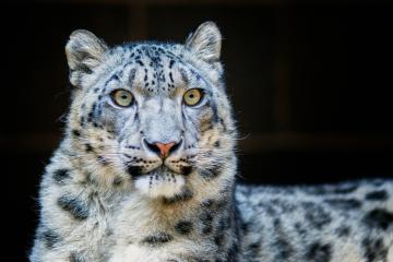 Zoológico de San Diego podría tener cuatro leopardos con Covid-19