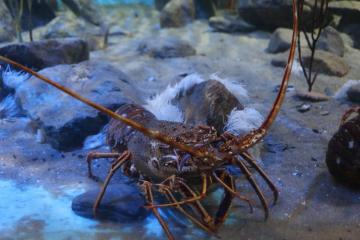 90% de las langostas de Baja California se exportan a Asia