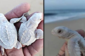 Sorprende nacimiento de un par de tortugas albinas en Baja...