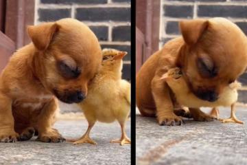 VIRAL: Pollito salva a perrito de caerse de sueño