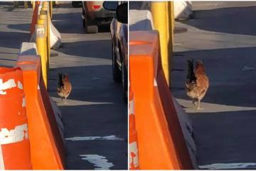 """Chicken """"trying to cross"""" into the U.S. at San Ysidro..."""