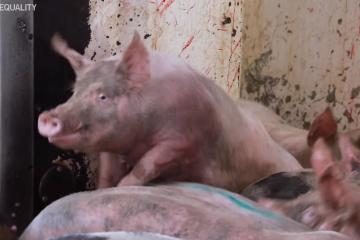 Denuncian actos crueles e ilegales en matadero mexicano de animales
