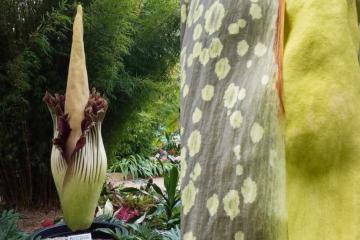 """La """"Flor Cadáver"""" ya casi florece en el Jardín Botánico de..."""