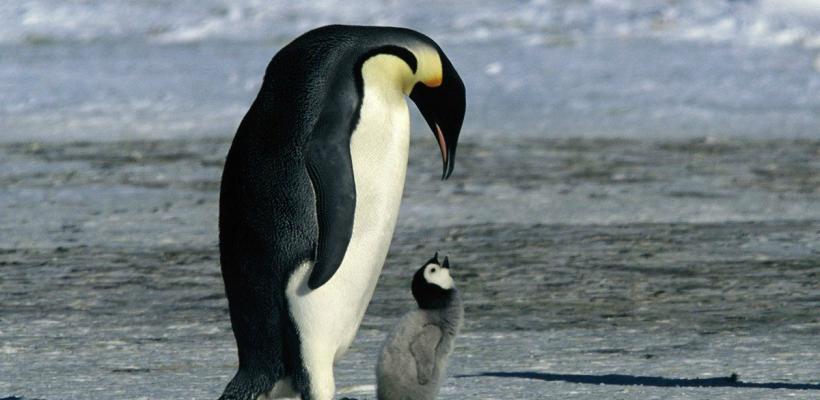 Habrá segunda parte de La Marcha de Los Pingüinos