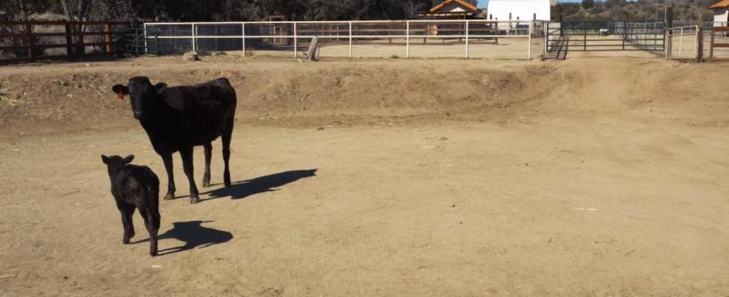 Vaca y ternero son salvados por Joaquin Phoenix